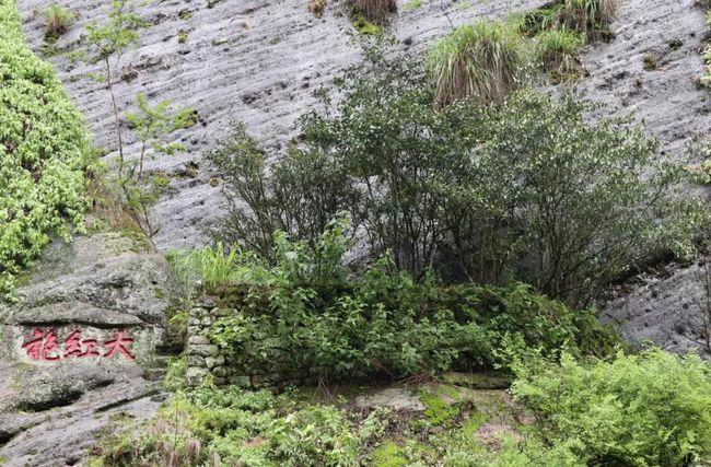 武夷岩茶有上千个品种?但依据武夷岩茶国家标准只有这5大类