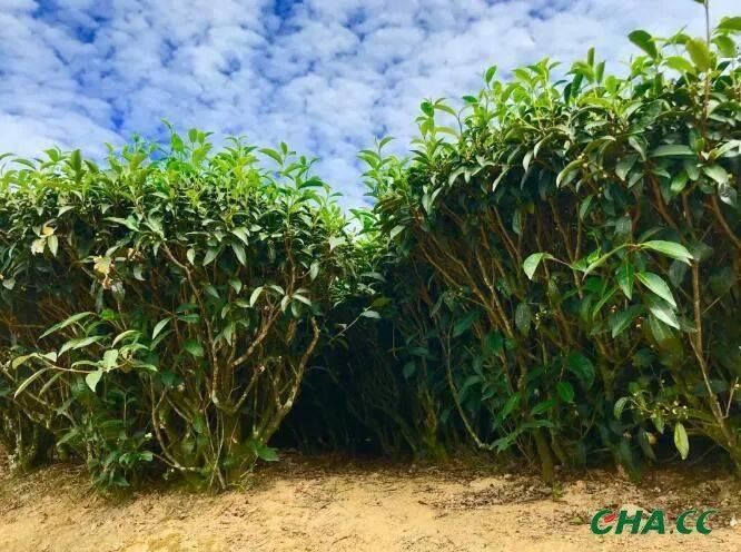 农业农村部答复:关于茶产业科技创新与绿色发展相关问题建议 ..
