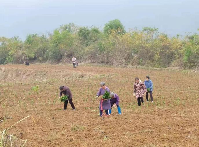 秀山兰桥镇:千余亩黄金茶叶基地助推乡村振兴